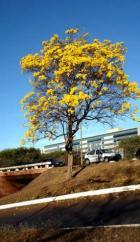 Ipê em Brasíla